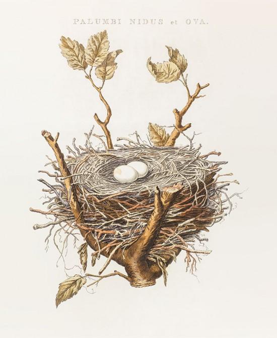 RiZ, Zadanie dla botanika, Gniazdo i jaja gołębia grzywacza, Jan Christiaan Sepp.jpg