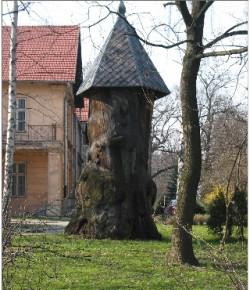 Dąb Pałacowy, fot. ze strony parki.org.pl